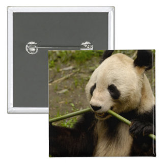 Giant panda Ailuropoda melanoleuca) Family: 7 15 Cm Square Badge
