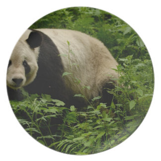 Giant panda (Ailuropoda melanoleuca) Family: 7 Plate