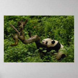 Giant panda Ailuropoda melanoleuca) Family: 8 Poster