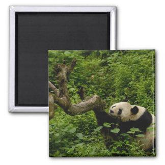 Giant panda Ailuropoda melanoleuca) Family: 8 Square Magnet