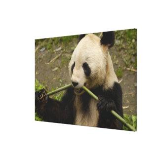 Giant panda Ailuropoda melanoleuca) Family: Canvas Print