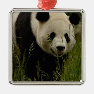 Giant panda (Ailuropoda melanoleuca) Family: Christmas Ornament