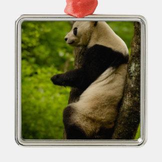 Giant panda Ailuropoda melanoleuca) Family: Christmas Ornament