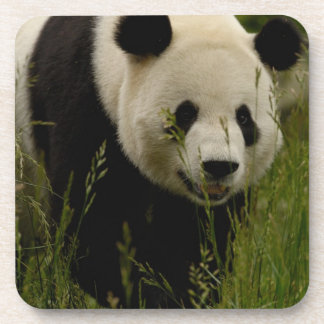 Giant panda (Ailuropoda melanoleuca) Family: Coaster
