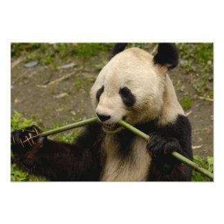 Giant panda Ailuropoda melanoleuca) Family: Photo Print