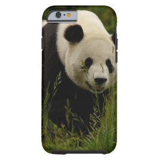 Giant panda (Ailuropoda melanoleuca) Family: Tough iPhone 6 Case