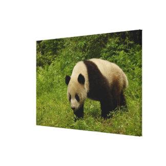 Giant panda (Ailuropoda melanoleuca) in its Canvas Print