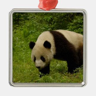 Giant panda (Ailuropoda melanoleuca) in its Christmas Ornament
