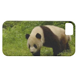Giant panda (Ailuropoda melanoleuca) in its iPhone 5 Cases