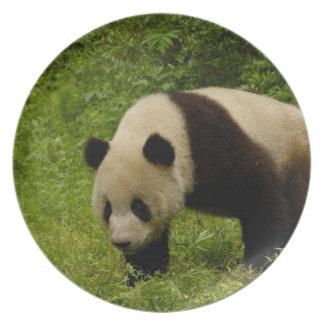 Giant panda (Ailuropoda melanoleuca) in its Party Plates