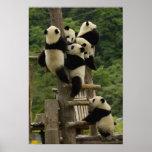 Giant panda babies Ailuropoda melanoleuca)
