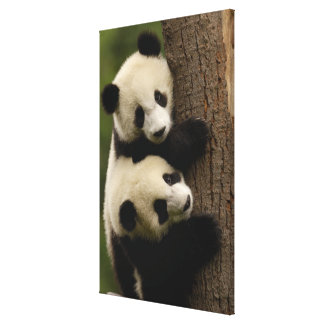 Giant panda babies (Ailuropoda melanoleuca) 2 Canvas Print