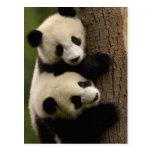 Giant panda babies (Ailuropoda melanoleuca) 2 Post Cards