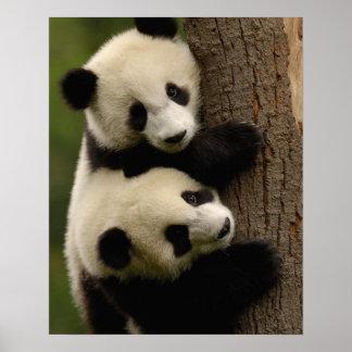 Giant panda babies (Ailuropoda melanoleuca) 2 Poster
