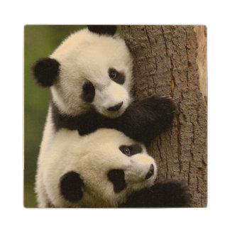 Giant panda babies (Ailuropoda melanoleuca) 2 Wood Coaster