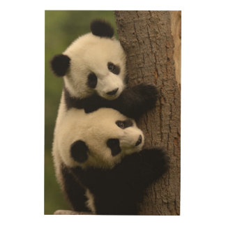 Giant panda babies (Ailuropoda melanoleuca) 2 Wood Wall Art
