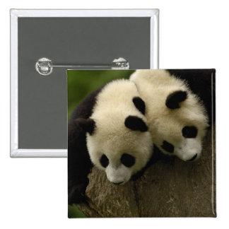 Giant panda babies (Ailuropoda melanoleuca) 3 15 Cm Square Badge