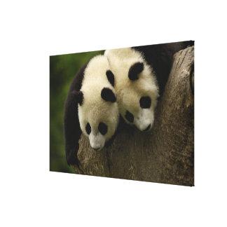 Giant panda babies (Ailuropoda melanoleuca) 3 Canvas Print