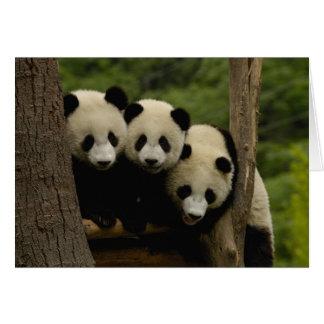 Giant panda babies Ailuropoda melanoleuca) 3 Card