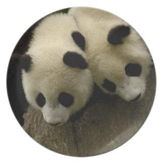 Giant panda babies (Ailuropoda melanoleuca) 3 Dinner Plate