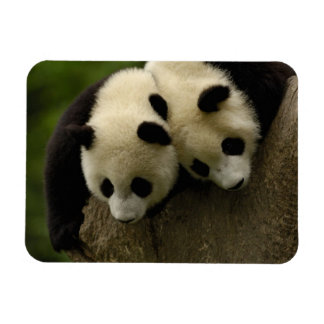 Giant panda babies (Ailuropoda melanoleuca) 3 Rectangular Photo Magnet