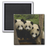 Giant panda babies Ailuropoda melanoleuca) 3 Square Magnet