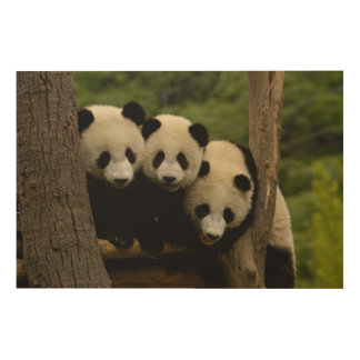 Giant panda babies Ailuropoda melanoleuca) 3 Wood Prints