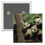 Giant panda babies Ailuropoda melanoleuca) 4