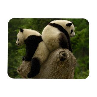 Giant panda babies (Ailuropoda melanoleuca) 4 Magnet