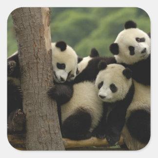 Giant panda babies Ailuropoda melanoleuca) 4 Square Sticker