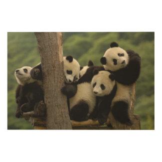 Giant panda babies Ailuropoda melanoleuca) 4 Wood Canvases