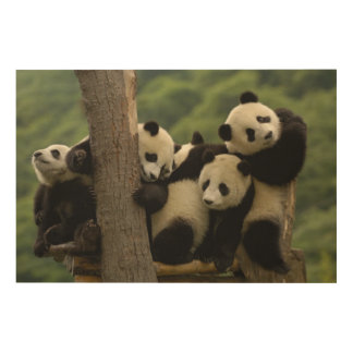 Giant panda babies Ailuropoda melanoleuca) 4 Wood Wall Art