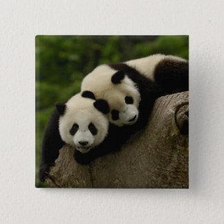 Giant panda babies Ailuropoda melanoleuca) 6 15 Cm Square Badge