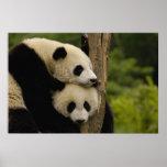 Giant panda babies Ailuropoda melanoleuca) 7