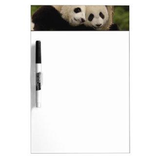 Giant panda babies Ailuropoda melanoleuca) 8 Dry Erase Board