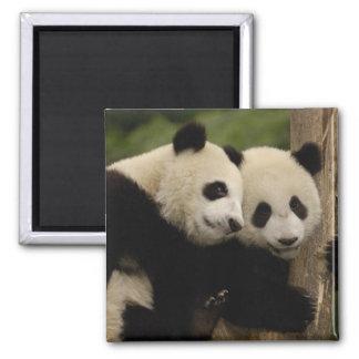 Giant panda babies Ailuropoda melanoleuca) 8 Magnet