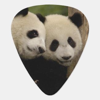 Giant panda babies Ailuropoda melanoleuca) 8 Plectrum