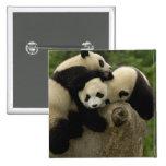 Giant panda babies Ailuropoda melanoleuca) 9 15 Cm Square Badge