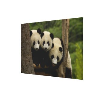 Giant panda babies Ailuropoda melanoleuca) Canvas Print
