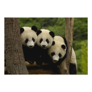 Giant panda babies Ailuropoda melanoleuca) Photo Print