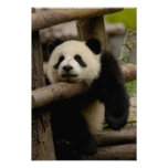 Giant panda baby Ailuropoda melanoleuca)