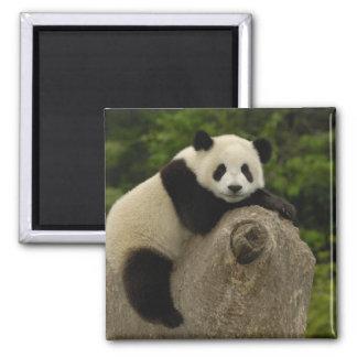 Giant panda baby Ailuropoda melanoleuca 11 Refrigerator Magnet
