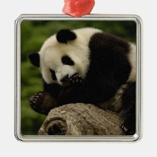 Giant panda baby Ailuropoda melanoleuca) 12 Christmas Ornament