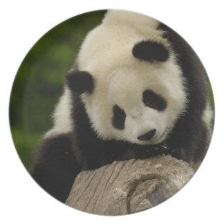 Giant panda baby (Ailuropoda melanoleuca) 2 Plates