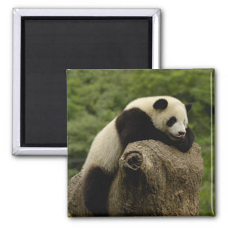 Giant panda baby Ailuropoda melanoleuca) 2 Square Magnet