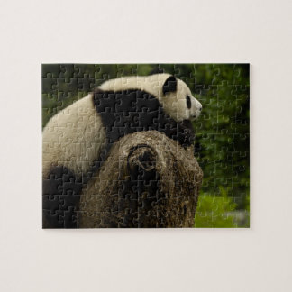 Giant panda baby (Ailuropoda melanoleuca) 3 Jigsaw Puzzle