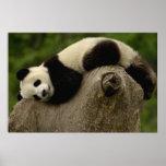 Giant panda baby Ailuropoda melanoleuca) 3 Poster