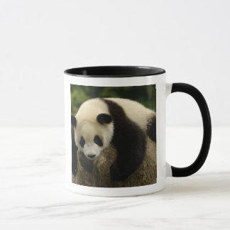 Giant panda baby (Ailuropoda melanoleuca) 4