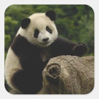 Giant panda baby Ailuropoda melanoleuca) 6 Square Sticker