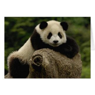 Giant panda baby Ailuropoda melanoleuca) 7 Card